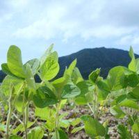 弥彦山の麓で育つ味噌用の大豆